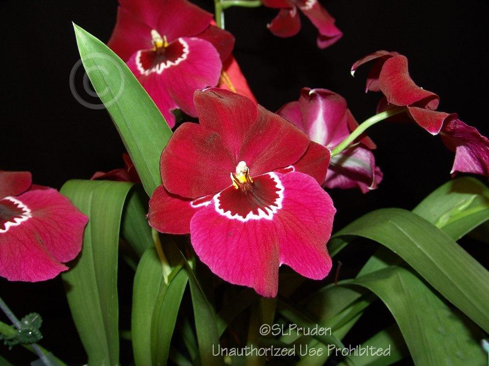 Photo of Orchid (Miltoniopsis Lennart Karl Gottling) uploaded by DaylilySLP