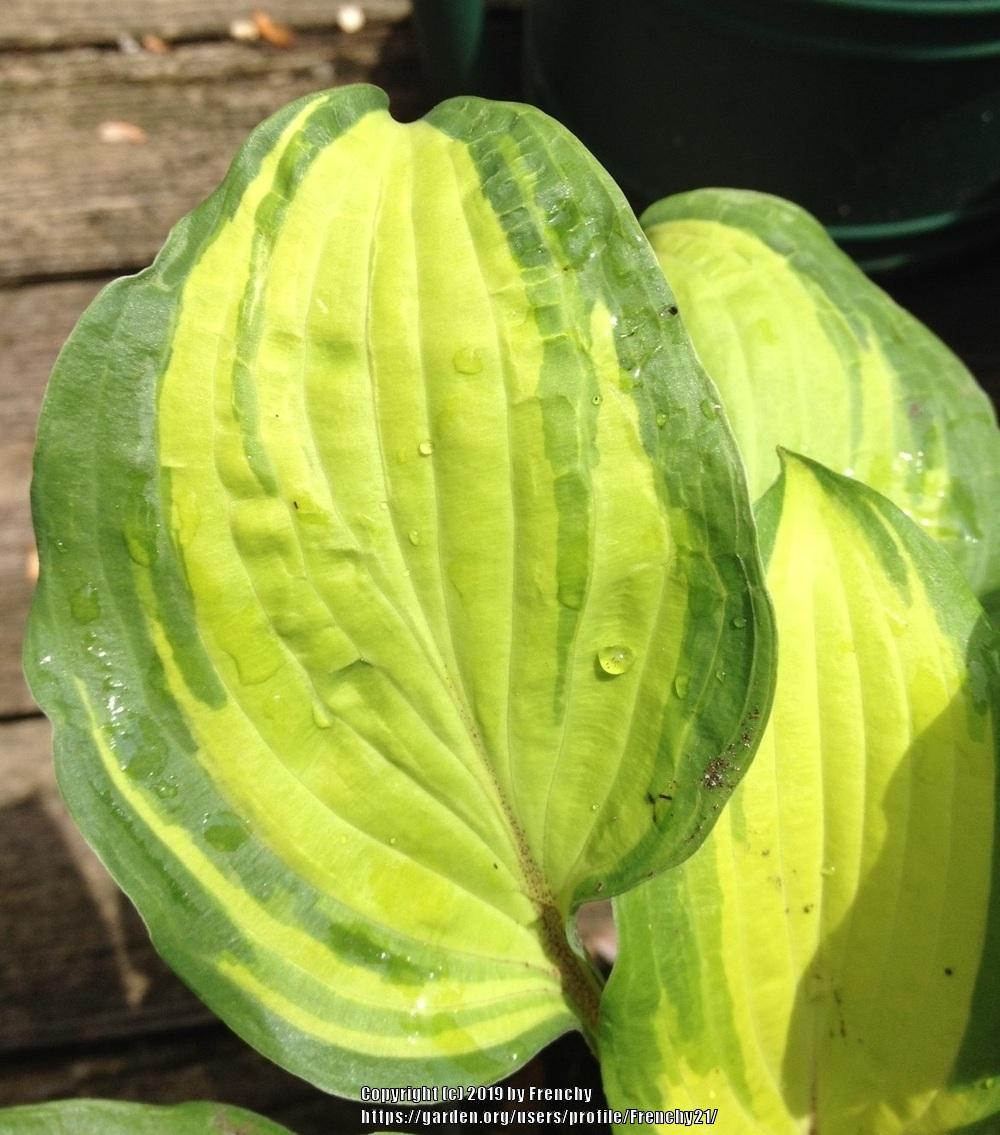 Photo of Hosta 'Island Breeze' uploaded by Frenchy21