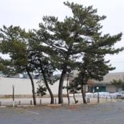 Location: Rehoboth Beach, DelawareDate: 2010-02-24several trees near the beach