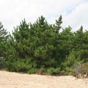 Location: Rehoboth Beach, DelawareDate: 2009-09-17trees planted above the beach