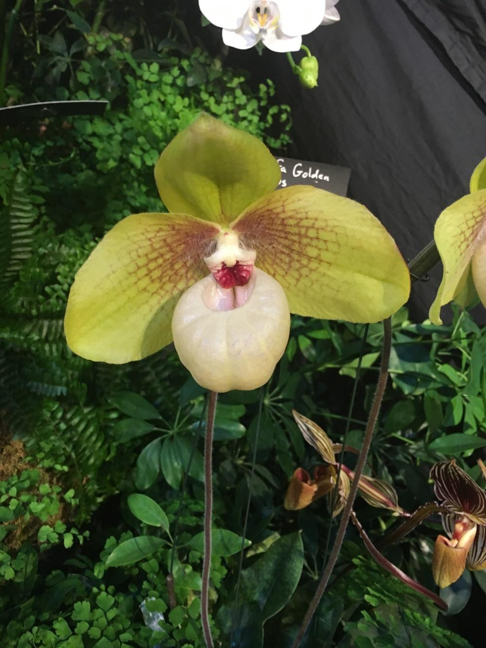 Photo of Orchid (Paphiopedilum Shun-Fa Golden) uploaded by BigBill