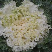 Location: Gatlinburg, TNDate: 2018-11-24Brassica oleracea Nagoya 'White' Onamental Kale