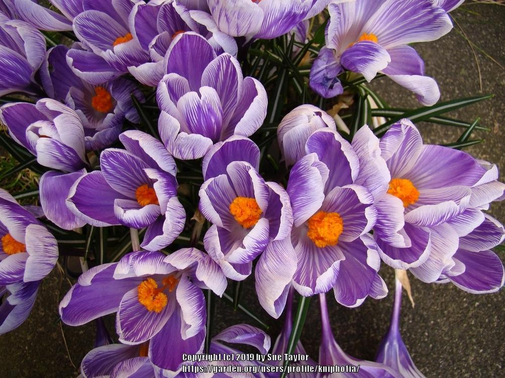 Photo of Spring Crocus (Crocus vernus 'Striped Beauty') uploaded by kniphofia