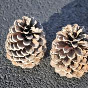 Location: Rehoboth Beach, DelawareDate: 2012-12-23two (female) cones
