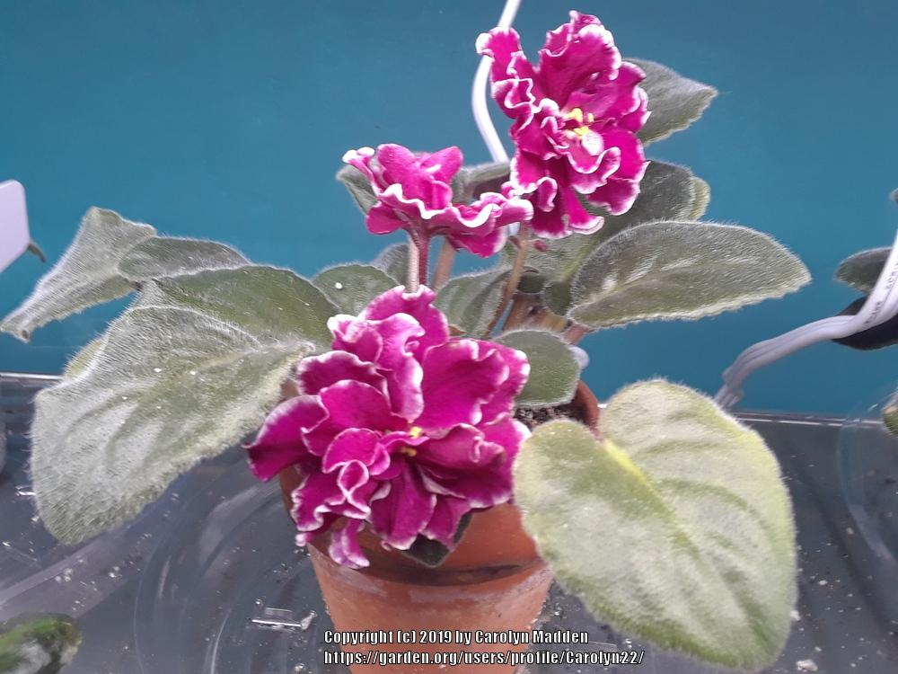 African Violets: Plant Care and Collection of Varieties - Garden org