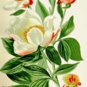 Date: c. 1896illustration [as P. albiflora] from Step's 'Favourite F