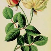 Date: c. 1896illustration from Step's 'Favourite Flowers of Garden and Greenho