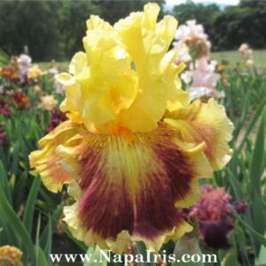Photo courtesy of Napa Country Iris Garden