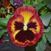 Location: Botanical Gardens of the State of Georgia...Athens, GaDate: 2019-03-03Red And Yellow Pansy 002