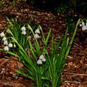 Location: Botanical Gardens of the State of Georgia...Athens, GaDate: 2019-03-03Leucojum aestivum - Summer Snowflake 009