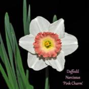 Location: Botanical Gardens of the State of Georgia...Athens, GaDate: 2019-03-03Daffodil - Narcissus Pink Charm 003 text