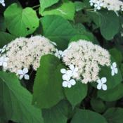 Location: Phoenixville, PennsylvaniaDate: 2017-06-29Wild or Smooth Hydrangea flowers