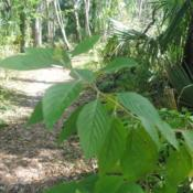 Location: Fern Forest Nature Center in Coconut Creek, FLDate: 2018-03-27the large leaves