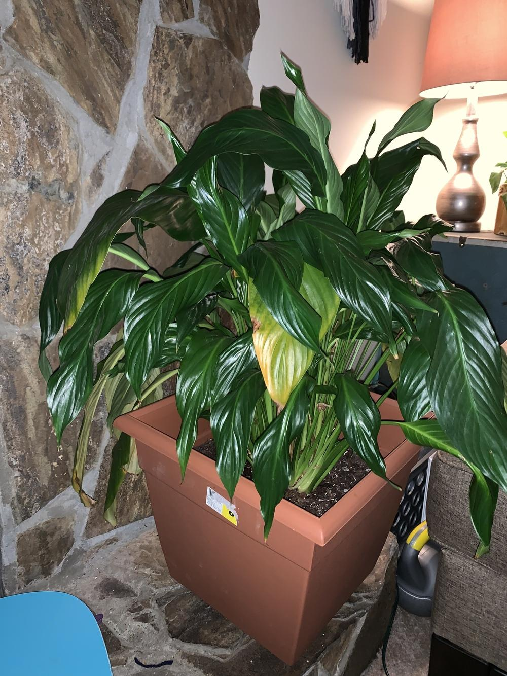 Houseplants forum: Wilting peace lily. - Garden.org on wilted rose plant, wilted ivy plant, wilted boston fern plant, wilted daisy plant, wilted pothos plant, wilted poppy plant, wilted aloe vera plant,