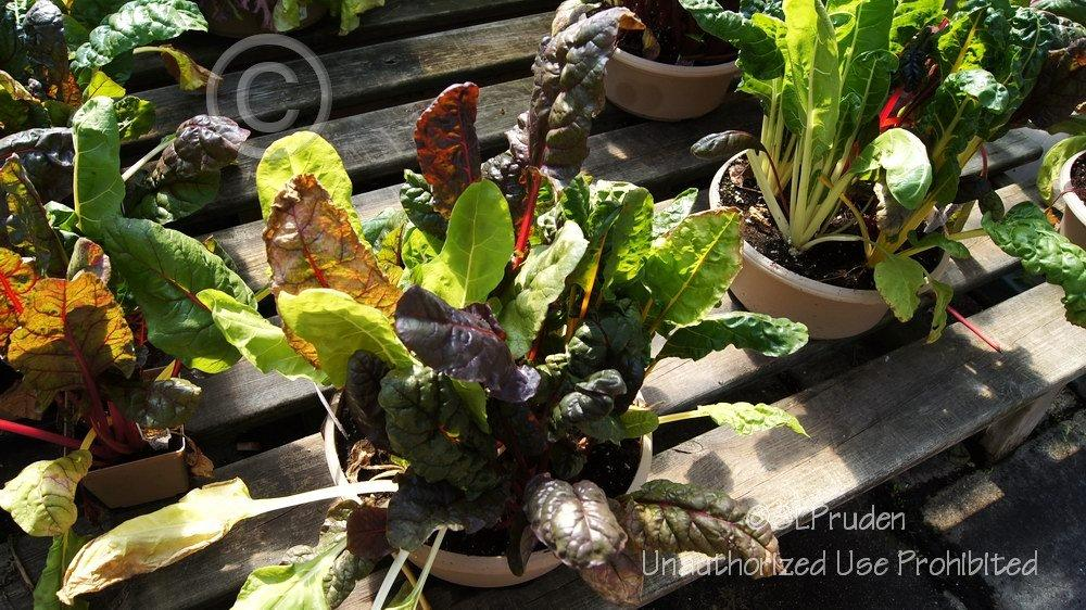 Photo of Swiss Chard (Beta vulgaris subsp. cicla 'Bright Lights') uploaded by DaylilySLP