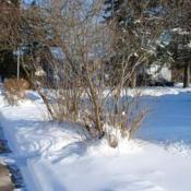 Location: Downingtown, PennsylvaniaDate: 2009-12-20two shrubs in winter