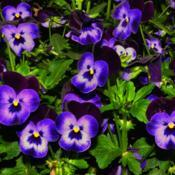 Location: Botanical Gardens of the State of Georgia...Athens, GaDate: 2019-03-03Blue Pansies 001