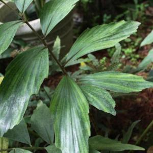 Frond that seems to be showing variegation!