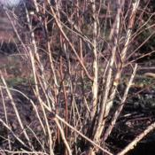 Location: DeKalb, IllinoisDate: early spring 1983stems and bark