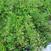 Location: Crow's Nest Land Preserve in se PADate: 2015-06-10maturing shrub with spent flowers