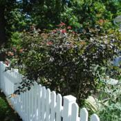 Location: Newtown Square, PennsylvaniaDate: 2011-06-02mature shrub