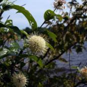 Location: Pinckney Recreation Area, MIDate: 2015-07-18Growing wild along the shore.