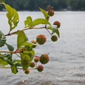 Location: Pinckney Recreation Area, MIDate: 2014-08-10Growing wild along the shore.