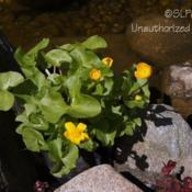 Location: Dearborn Heights, MIDate: 2012-04-06My Yard, growing in pond.