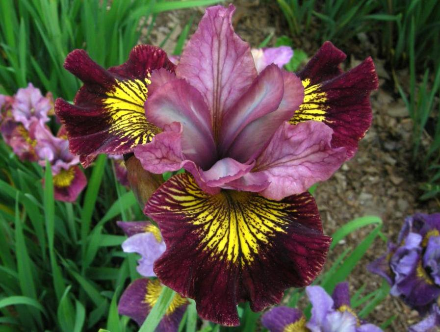 Photo of Siberian Iris (Iris 'Rubies On Tap') uploaded by Calif_Sue