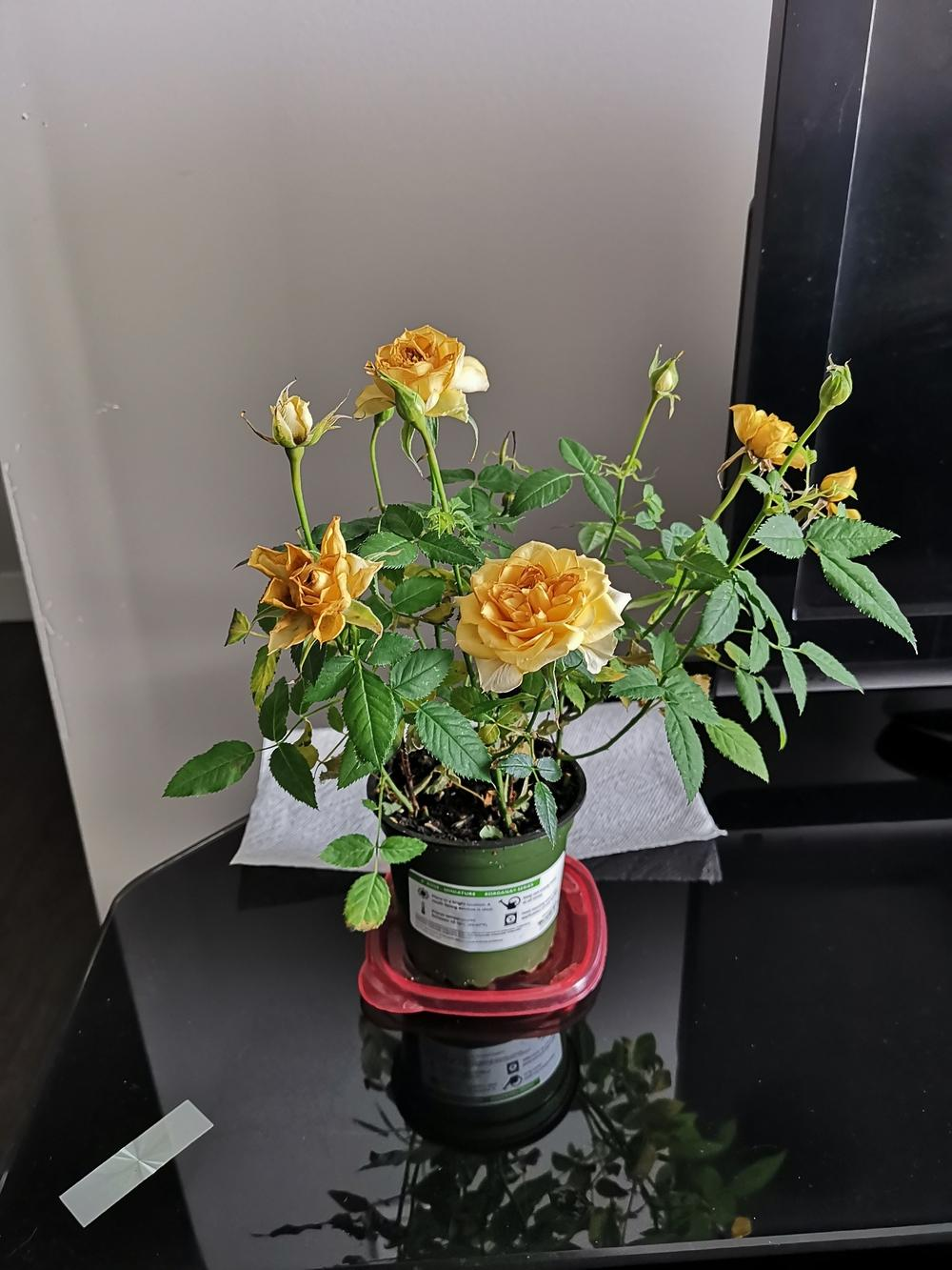 Roses Forum Mini Rose Turning Yellow And Dying Garden Org