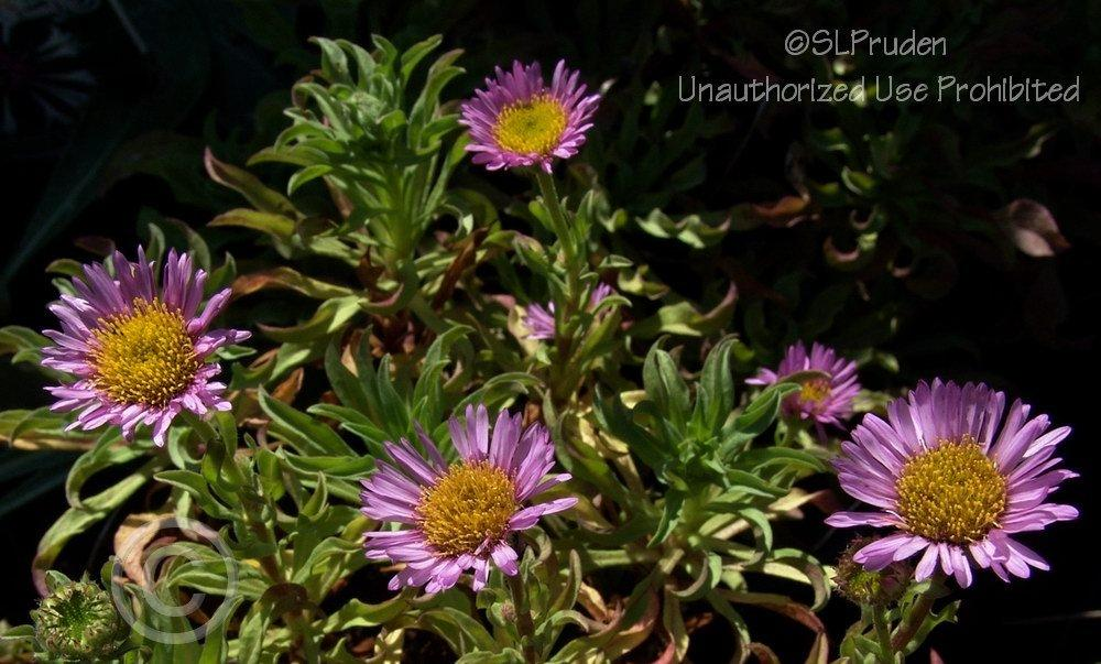 Photo of Daisy Fleabane (Erigeron 'Sea Breeze') uploaded by DaylilySLP