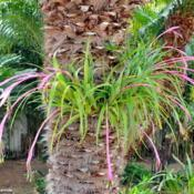 Location: PortugalDate: 2019-03-07A big clump of billbergia nutans on a palm tree in my garden...