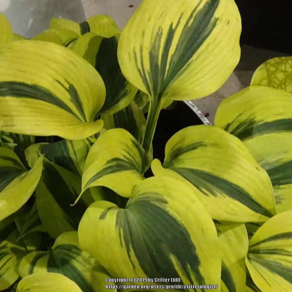 Photo of Hosta 'Autumn Frost' uploaded by critterologist