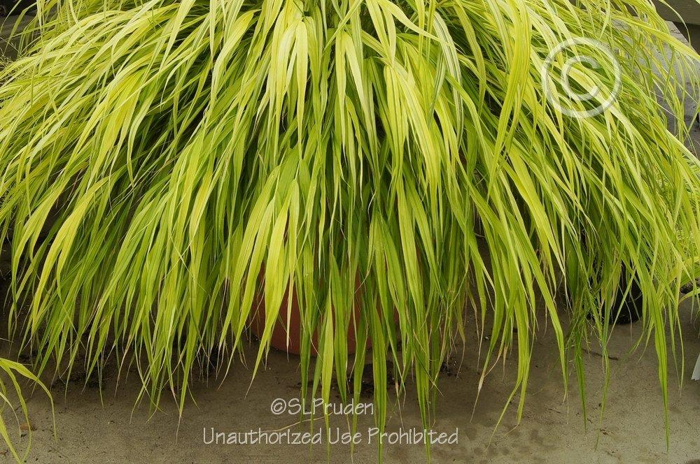 Photo of Japanese Forest Grass (Hakonechloa macra 'Aureola') uploaded by DaylilySLP