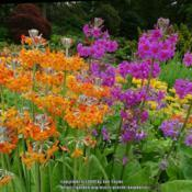 Location: RHS Harlow Carr, Yorkshire, UKDate: 2018-06-11