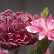 Location: PennsylvaniaDate: 2019-03-15supermarket carnations
