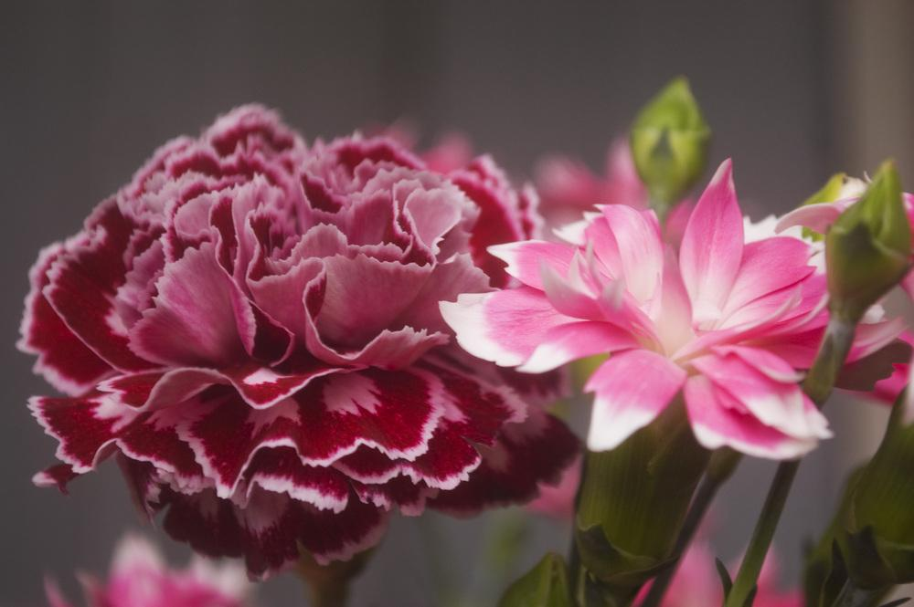 Photo of Dianthus uploaded by AudreyDee