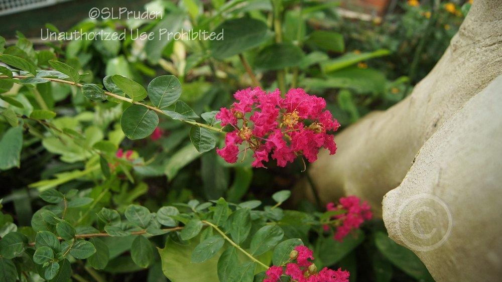 Photo of Crepe Myrtle (Lagerstroemia indica) uploaded by DaylilySLP