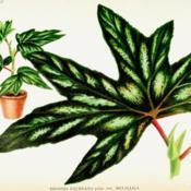 Date: c. 1895illustration of Begonia aconitifolia as B. faureana var