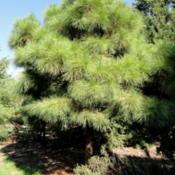 Location: Pinus taeda 'Little Albert' specimen in the J. C. Raulston Arboretum (North Carolina State University).Date: 2011-10-05