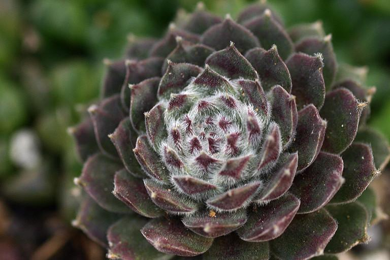 Photo of Hen and Chicks (Sempervivum 'Raspberry Ice') uploaded by loosertora