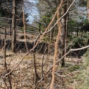 Location: Jenkins Arboretum in Berwyn, PennsylvaniaDate: 2019-03-17bristly hairy stems