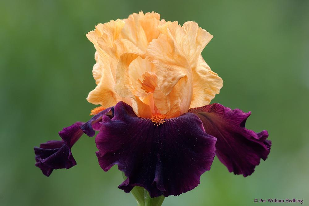 Photo of Tall Bearded Iris (Iris 'Brilliant Disguise') uploaded by William