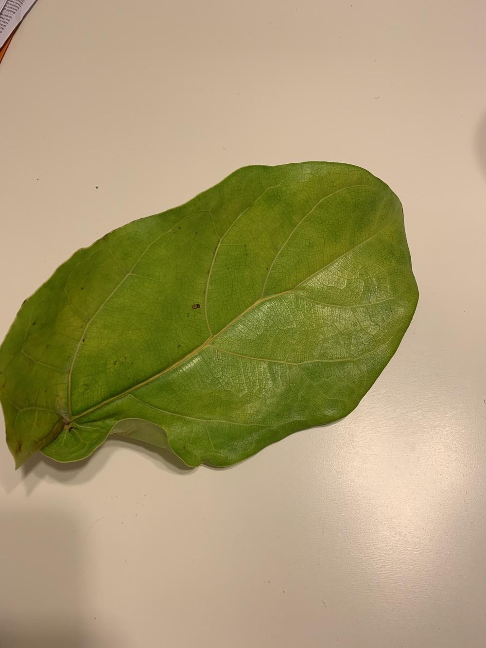 Ask A Question Forum Help Fiddle Leaf Fig Duncan Leaves Turning