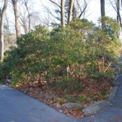 Location: Jenkins Arboretum in Berwyn, PennsylvaniaDate: 2011-12-18group of full-grown shrubs