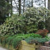 Location: Downingtown, PennsylvaniaDate: 2011-04-28full-grown shrubs in bloom