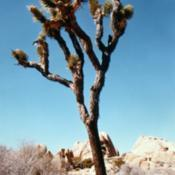 Location: Joshua Tree National MonumentDate: mid-1980'sgloriously beautiful place