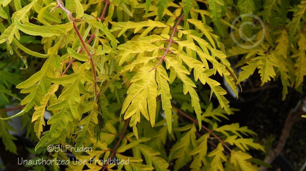 Photo of Staghorn Sumac (Rhus typhina Tiger Eyes®) uploaded by DaylilySLP
