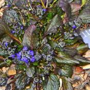 Location: Botanical Gardens of the State of Georgia...Athens, GaDate: 2019-03-24Bugleweed - Catlin's Giant 001