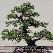 Location: Matthaei Botanical Gardens, Ann Arbor, MIDate: 2014-07-06Bonsai--started 1974, trained since 1984, donated by Ho